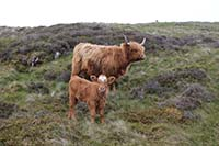 Dumyat hill run. These guys can be quite a sight.  Be careful when there are calfs