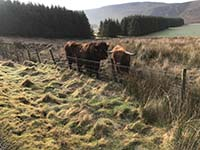 Helensburgh - Glen Fruin. Friendly cows are always worth a wee hello