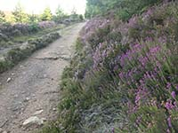 Meikle Tap. Amongst the Scottish heather