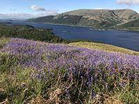 Ben Lomond. Scottish bluebells