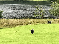 Lochs Voil and Doine. Highland cows beside the loch