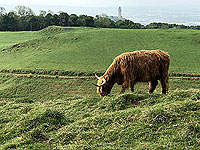 Sheriffmuir loop. Wallace monument with cow