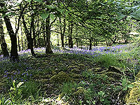 Sheriffmuir loop. The bluebells are out
