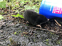 A wee mole out running