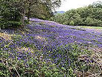 Bluebells near Aberfoyle