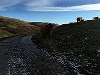 Highland cows at Dumyat