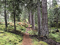 Giant trees on the Plodda falls loop